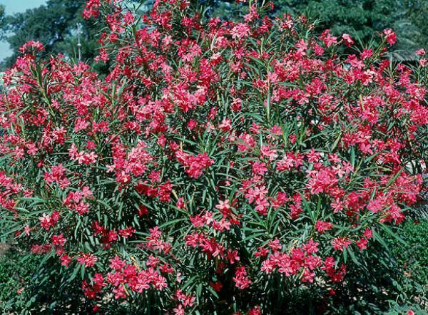 Oleandro piante forestali - Piante striscianti per scarpate ...
