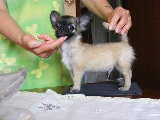cucciolo di chihuahua SANO