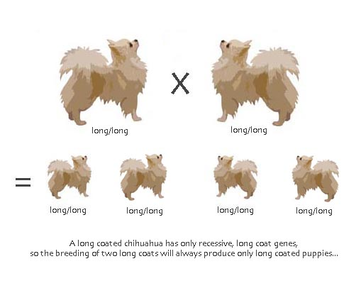 La Genetica Del Pelo Lungo Corto Dogs Clubdogs Club Essere